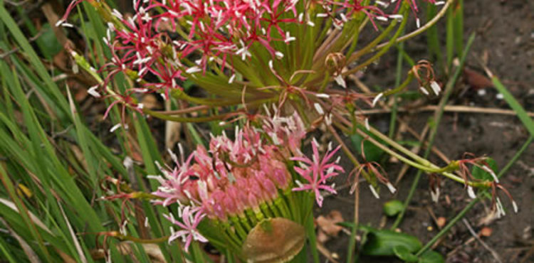 Boophane Disticha At Irma Booysen Floral Reserve 450